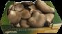 Funghi Pleurotus Minicollo